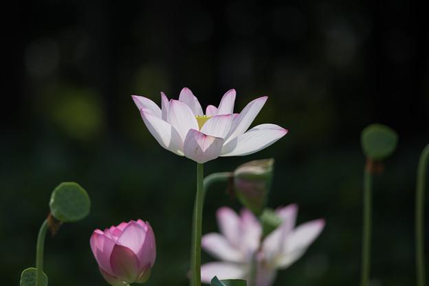 花菜ガーデン【田んぼたんぼの蓮】4