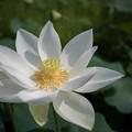 花菜ガーデン【田んぼたんぼの蓮】7
