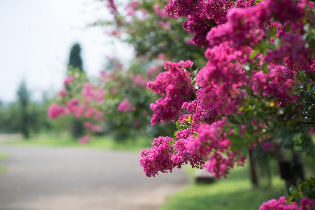 花菜ガーデン【赤色の百日紅】1