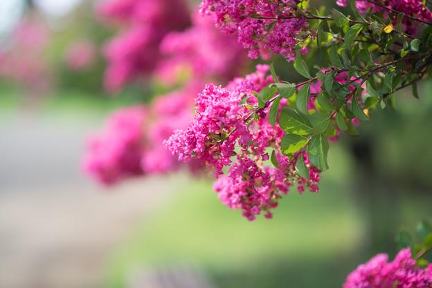 花菜ガーデン【赤色の百日紅】2