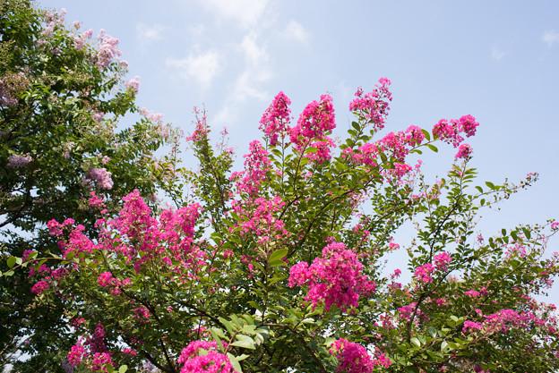 花菜ガーデン【赤色の百日紅】3