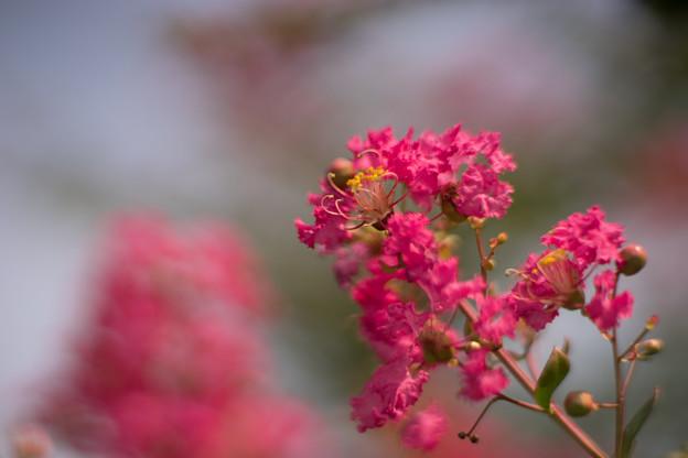 花菜ガーデン【赤色の百日紅】5