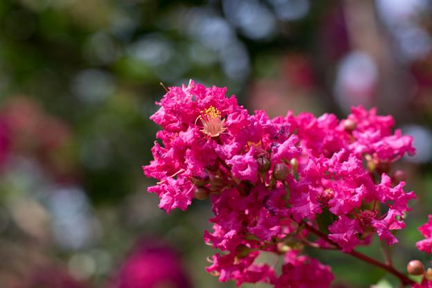 花菜ガーデン【赤色の百日紅】6