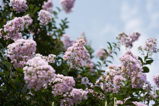 花菜ガーデン【紫色の百日紅】2