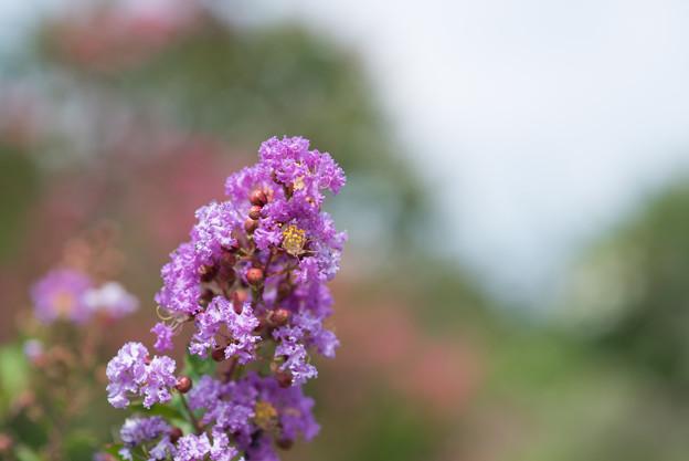 花菜ガーデン【紫色の百日紅】3