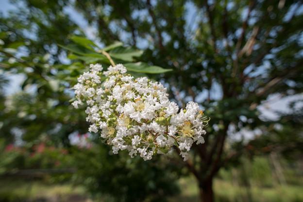 花菜ガーデン【白色の百日紅】2