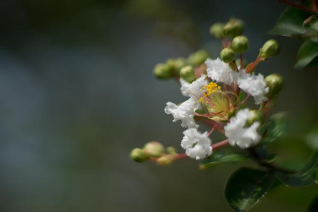 花菜ガーデン【白色の百日紅】4