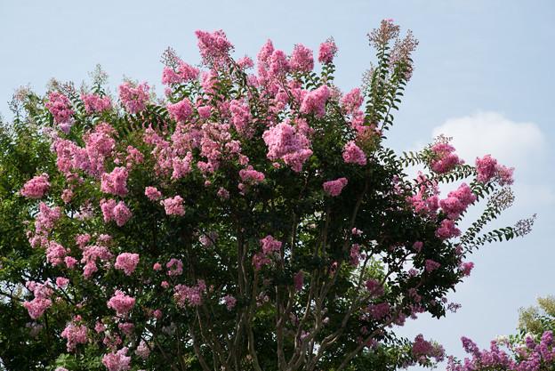 花菜ガーデン【ピンク色の百日紅】2