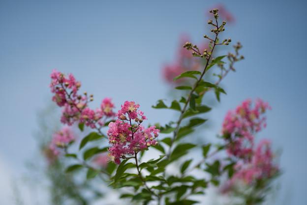 花菜ガーデン【ピンク色の百日紅】4