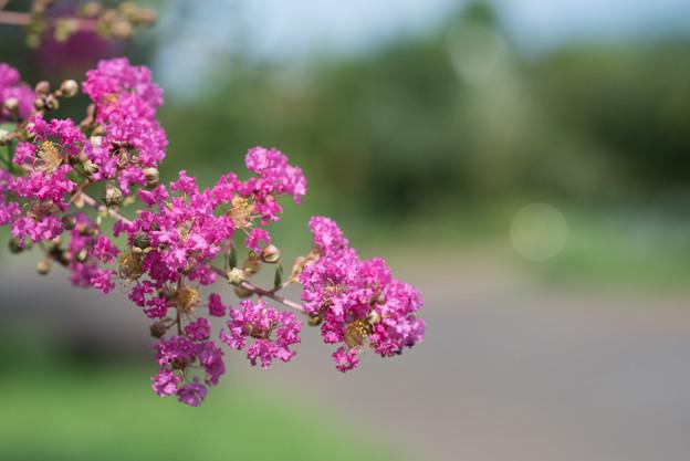 花菜ガーデン【ピンク色の百日紅】5