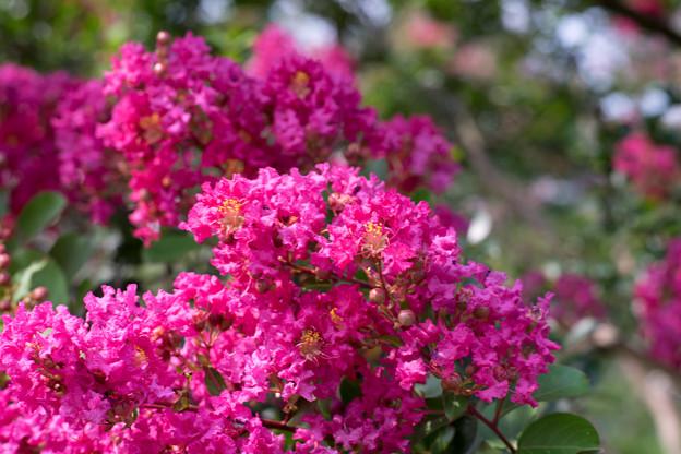 花菜ガーデン【ピンク色の百日紅】7