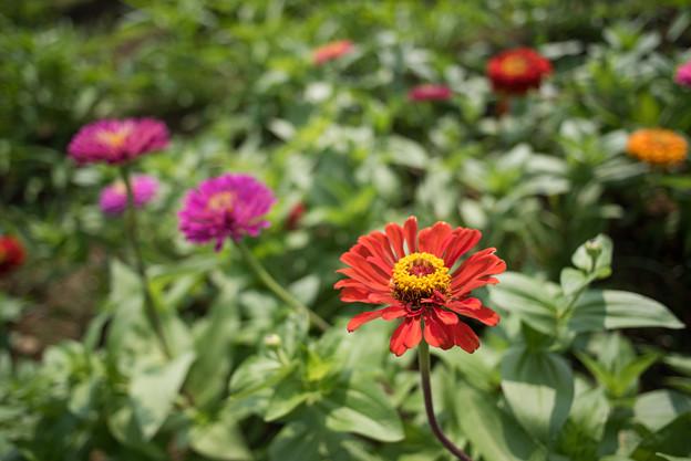花菜ガーデン【日日草】1