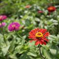 Photos: 花菜ガーデン【日日草】1