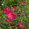 花菜ガーデン【タイタンビカス】3