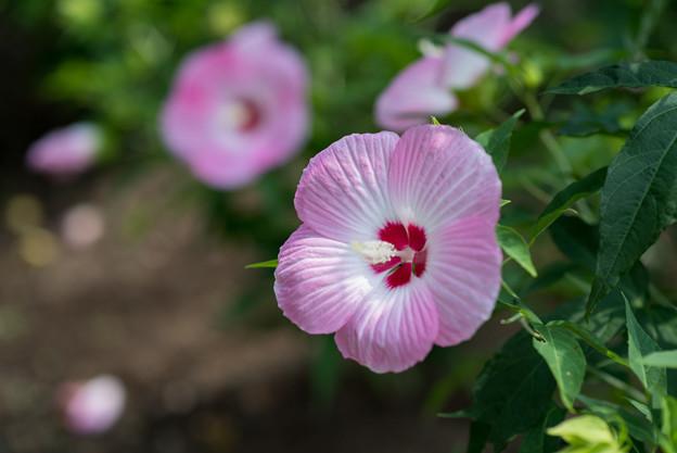 花菜ガーデン【タイタンビカス】4