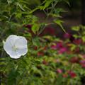 花菜ガーデン【タイタンビカス】7
