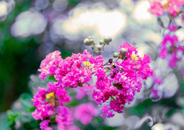 大船フラワーセンター【ピンク色のサルスベリ】4銀塩