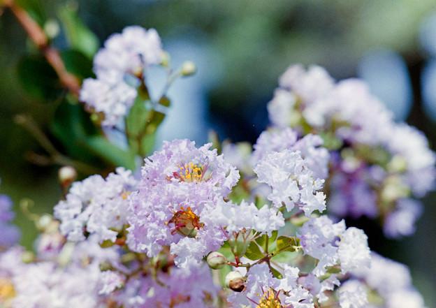 大船フラワーセンター【薄紫色のサルスベリ】4銀塩