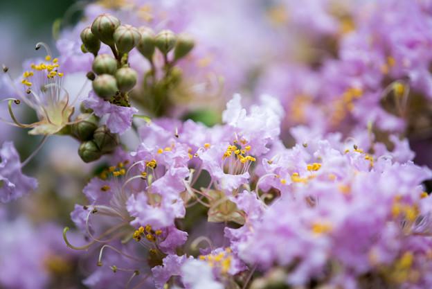 大船フラワーセンター【薄紫色のサルスベリ】5