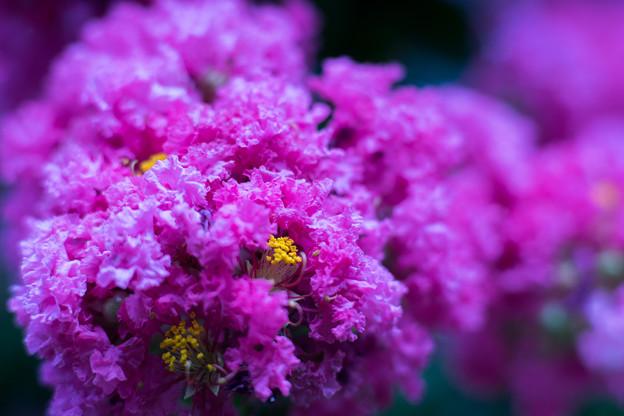 大船フラワーセンター【紫色のサルスベリ】4