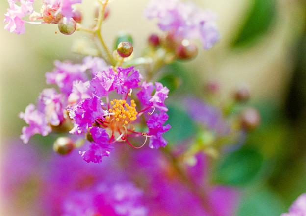 大船フラワーセンター【紫色のサルスベリ】6銀塩