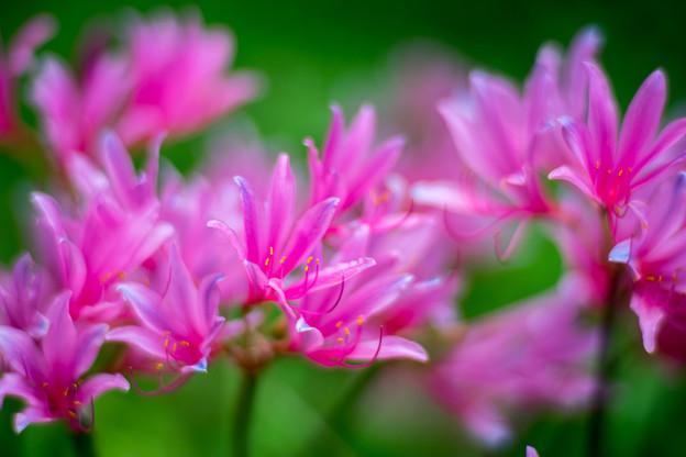 花菜ガーデン【リコリス】3
