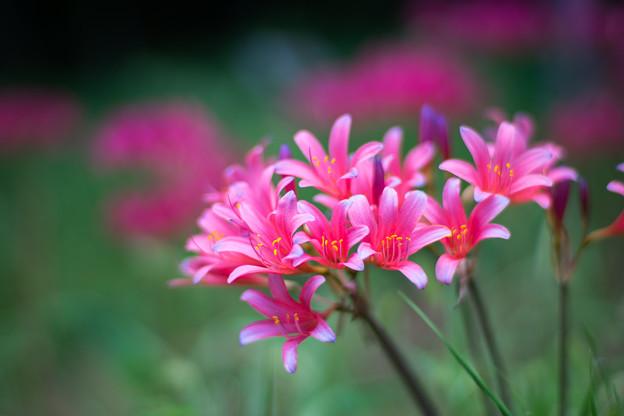花菜ガーデン【リコリス】4
