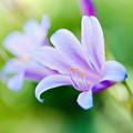花菜ガーデン【リコリス】6銀塩