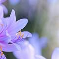 花菜ガーデン【リコリス】7銀塩