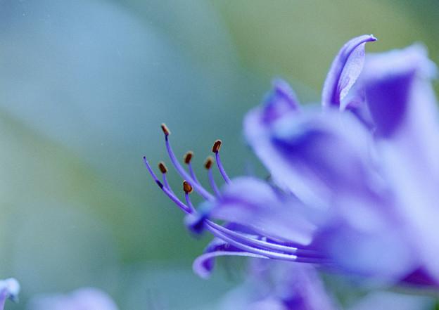 花菜ガーデン【リコリス】8銀塩
