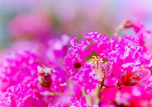 花菜ガーデン【サルスベリ】5銀塩
