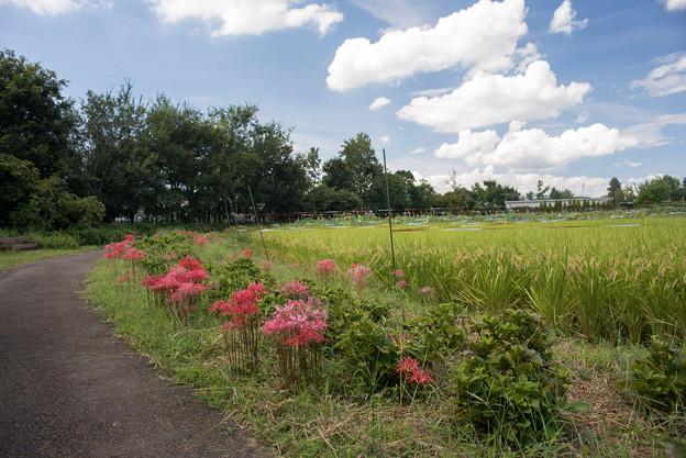 花菜ガーデン【ヒガンバナ】1