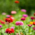花菜ガーデン【ニチニチソウ】1
