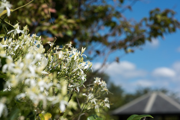 花菜ガーデン【センニンソウ】2