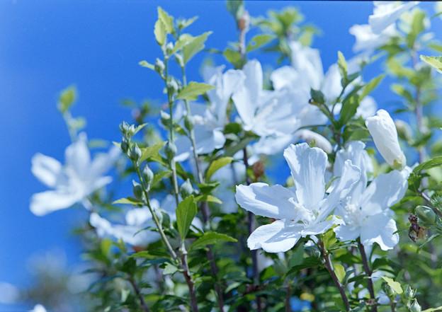 花菜ガーデン【ムクゲ】銀塩