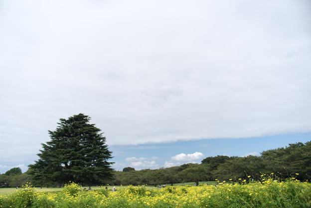 昭和記念公園【原っぱ東花畑:キバナコスモス(レモンブライト)】1