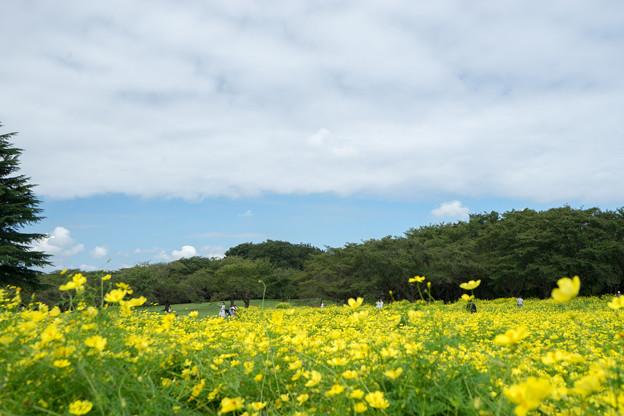 昭和記念公園【原っぱ東花畑:キバナコスモス(レモンブライト)】2