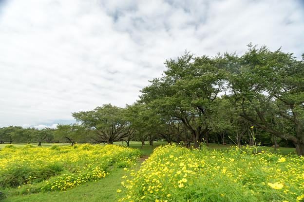 昭和記念公園【原っぱ東花畑:キバナコスモス(レモンブライト)】3