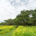 Photos: 昭和記念公園【原っぱ東花畑:キバナコスモス(レモンブライト)】3
