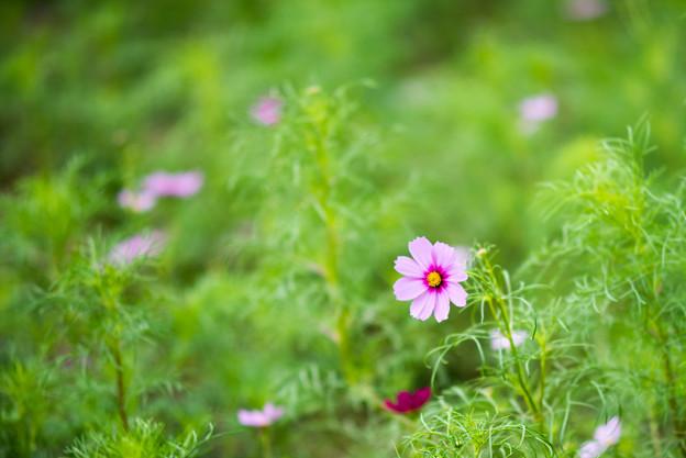 昭和記念公園【花の丘:コスモス】2