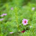 Photos: 昭和記念公園【花の丘:コスモス】2