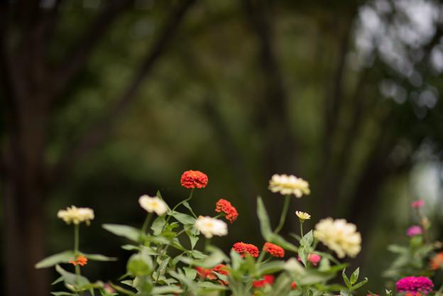 昭和記念公園【こもれびの里:ジニア】1