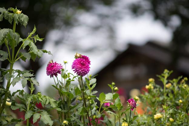 昭和記念公園【こもれびの里:ダリア】1