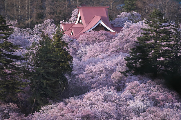 1高遠の桜D5(16.4.8-9) 027