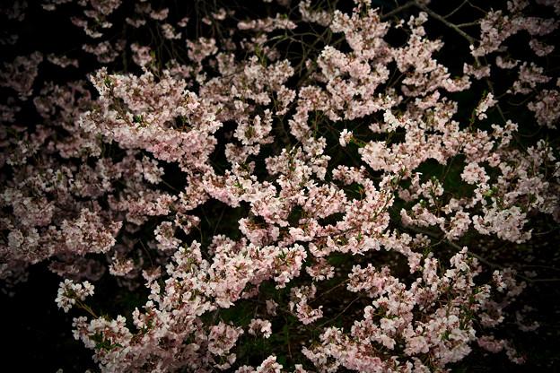 18高遠の桜D5(16.4.8-9) 286