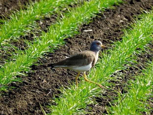 麦畑の野鳥1