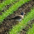 写真: 麦畑の野鳥1