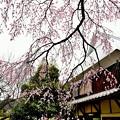 写真: 宝珠寺ヒメシダレサクラ3