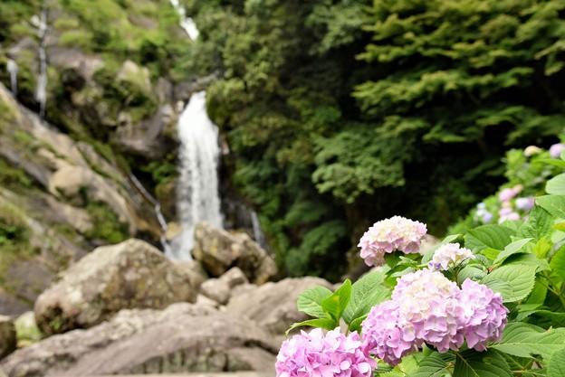 見返りの滝 アジサイ 2