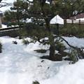 写真: 松の木の下は雪が溶けて